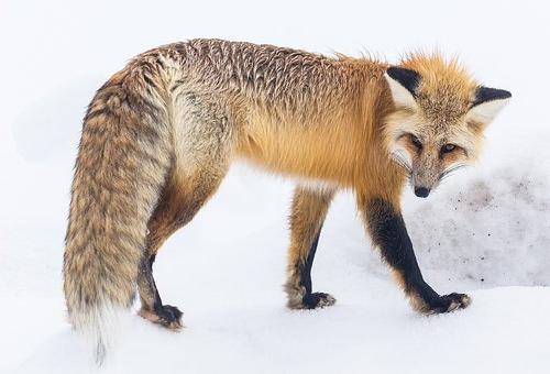 狐 食べる 動物