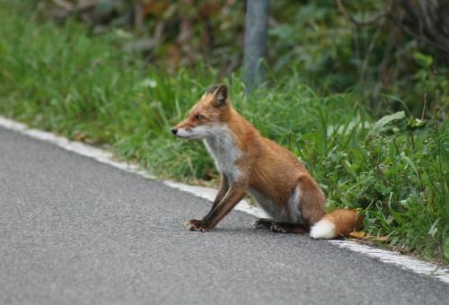 狐 日本 分布 生息地