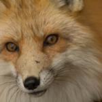狐が化けると言われる理由は!?本当に化けるの!?