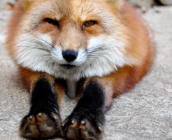 狐 足 指 本数