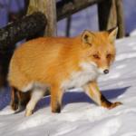 狐の冬の過ごし方やエサとは!?