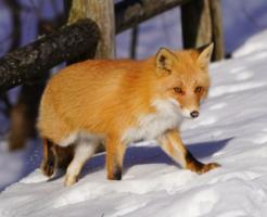 狐 冬 過ごし方 エサ