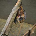 コウモリが通気口に住み着いている時の駆除対策方法について