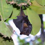 コウモリの巣の場所や見つけ方について