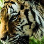 虎の肉球の色や特徴は!?