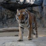 動物園でトラに与えている餌や餌の量はどれくらい!?