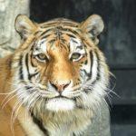 国での虎の意味やイメージは!?貴重な動物!?
