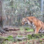 虎とライオンの交配種「ライガー」ってどんな動物!?