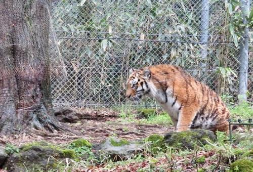 虎 ライオン 交配