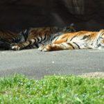 虎が絶滅の危機!?生態系への影響とは!?