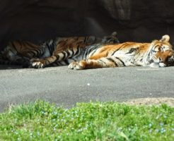 虎 絶滅 影響
