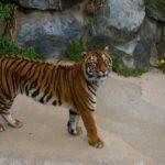 虎の牙の長さってどれくらい?特徴は?