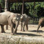 アジアゾウとアフリカゾウが絶滅危惧種に選ばれた理由は!?