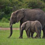 ゾウの種類や大きさの一覧まとめ!