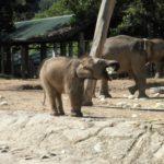 アフリカのゾウが激減している理由とは何!?