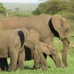 動物の中で象の妊娠期間が1番長い!?