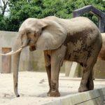 ゾウの年齢を人間に換算すると何歳!?