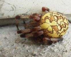 オニグモ 巣