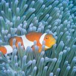 海水魚と一緒に飼育できるイソギンチャクの種類とは!?