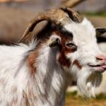 ヤギの平均寿命ってどれくらい!?