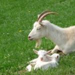 ヤギが妊娠した時の体の特徴は!?餌は何がいいの?
