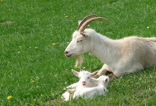 ヤギ 妊娠 特徴 餌