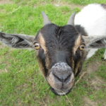 ヤギの冬の飼育方法や餌とは!?