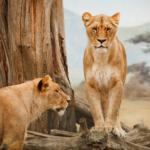 ライオンのメスってどんな性格をしているの!?