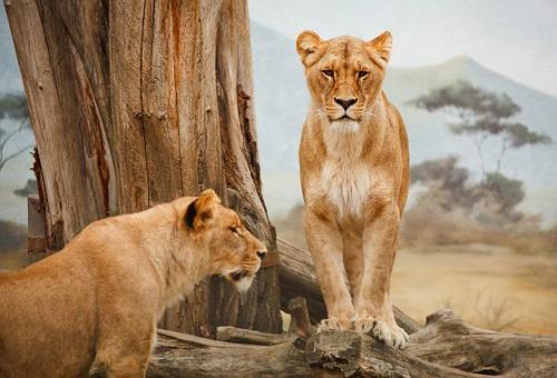 ライオン メス 性格