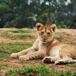 ライオンの子供の頃には斑点模様があるのはどうして!?