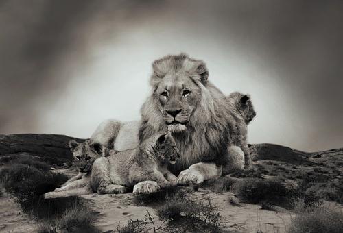 ライオン 動物 生態
