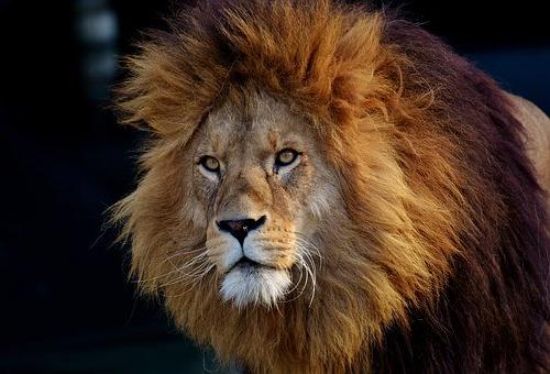 ライオン 目 光る