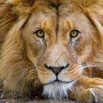 ライオンの目の仕組み!瞳孔はどうなってるの?