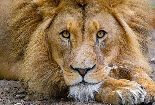 ライオン 目 構造 瞳孔