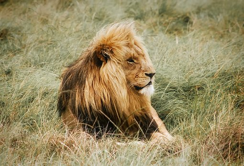 ライオン 野生 寿命 飼育下