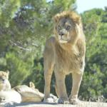 ライオンの毛の色や生えてる意味とは!?
