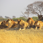 ライオンのオスの一生!過酷な群れでの生活とは!?