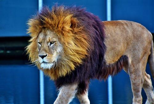 ライオン トラ 掛け合わせ