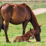 馬の赤ちゃんの大きさ体重はどれくらい!?