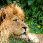 ライオンとヒョウの交配でできた「レオポン」とはどんな動物!?