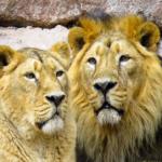ライオンの耳の特徴!どんな作りをしている!?