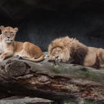 動物園で飼育しているライオンの繁殖はどうやって行われるの!?
