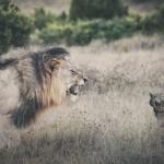同じネコ科の猫とライオンの違いとは!?