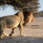 ライオンが尻尾を振る意味とは何!?