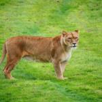 ライオンの尻尾の役割って何!?