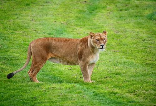 ライオン 尻尾 役割