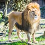 ライオンが百獣の王と言われる理由は何!?