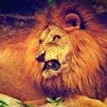 ライオンが吠える理由は何!?