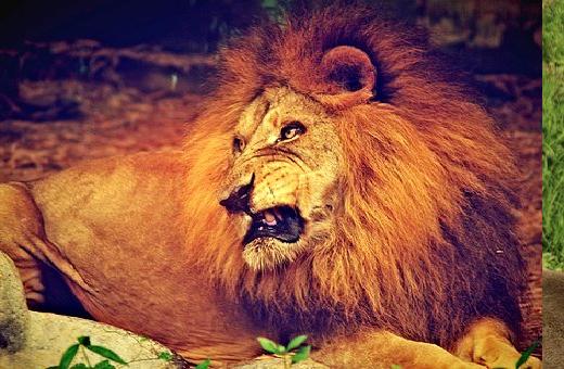 ライオン 吠える 理由