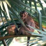 タイに生息する猿の種類は!?肥満の猿が見つかる!?